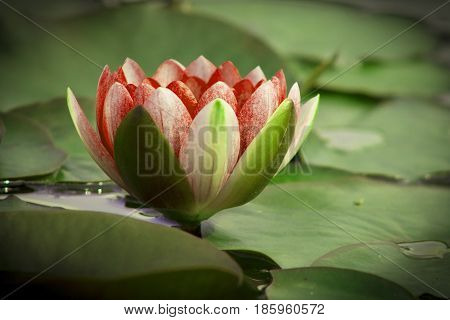 lotus flower is complimented by the rich colors of the deep blue water surface.