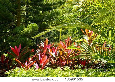 Hawaiian Ti Plant Latin name Cordyline terminalis surrounded by other green plants