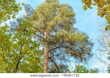 Autumn Early autumn Forest Grove Pine tree Pines Trees