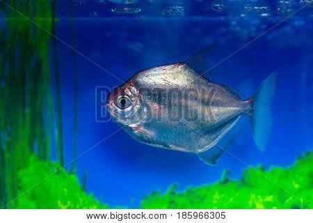 Metynnis silver herbivorous piranha fish-dollar Metynnis argenteus aquarium small fish