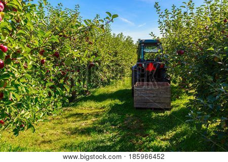 Harvest in a commercial apple orchard.