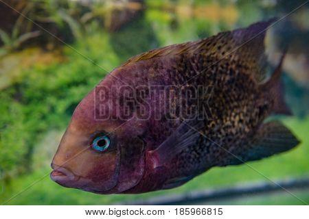 beautiful aquarium fish Astronotusa small aquarium fish swimming in the aquarium