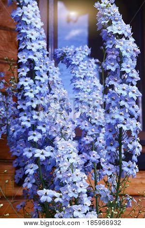 Blue Helenium Flowers Close Up Photo