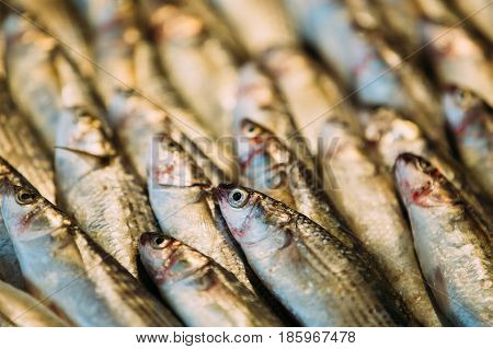 Fresh Sprat Fish On Display On Ice On Market Store Shop. Seafood Fish Background. A Sprat Is The Common Name Applied To A Group Of Forage Fish Belonging To The Genus Sprattus In The Family Clupeidae.