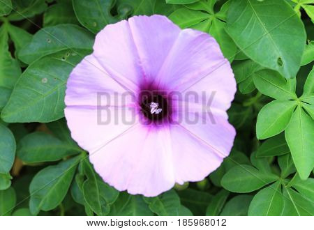 Morning glory flower with green leaves background