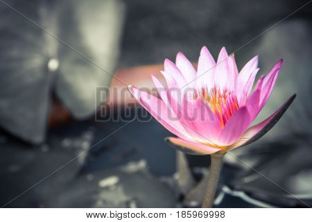 Spa background with pink lotus water lily on blurred gray pond background with leaves