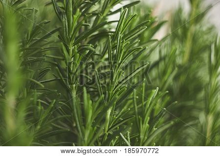 Small detail of rosemary plant: a plant used in the kitchen as amiable spice.