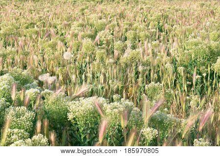 Grassfield landscape at sunrise. Hordeum. Poaceae. Background.