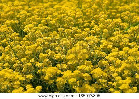 Yellow flowers of barbarea vulgaris in sunny day
