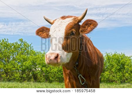 Young bull outdoors close up in sunny day