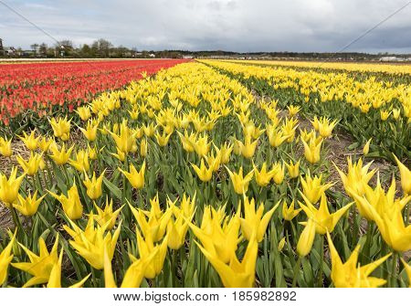Tulip fields in the Bollenstreek South Holland Netherlands