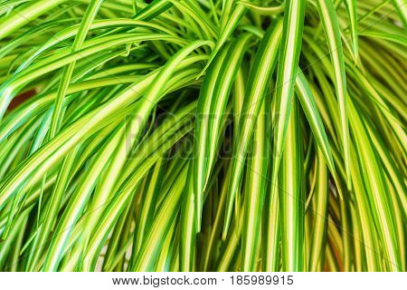close up of tropical exotic plant Dracaena leaves