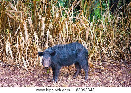 Wild black Boar in Oahu Hawaii United States