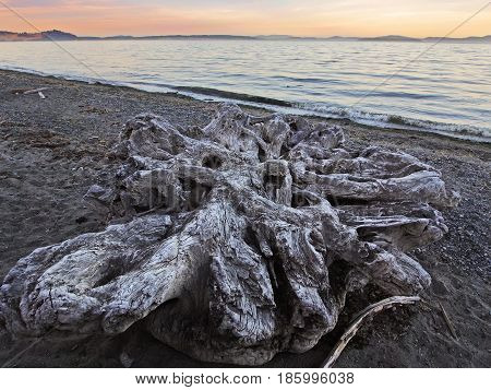 Large stump among the driftwood scattered on the ocean beach