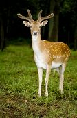 Deer standing in the forest and watching at the camera poster