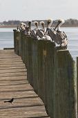 pelicans lined up on pilings poster
