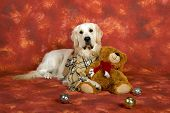 golden labrador with scarf in studio with bear and ornaments poster