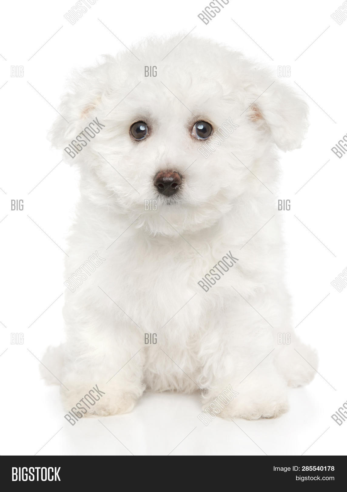 Close Bichon Frise Image Photo Free