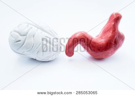 Brain And Stomach. Anatomical Models Of Human Brain And Stomach Are On White Background. Photo Visua