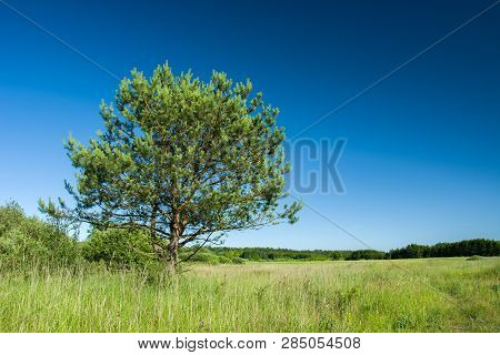 Large Coniferous Tree Growing On A Green Meadow, Forest And Blue Sky