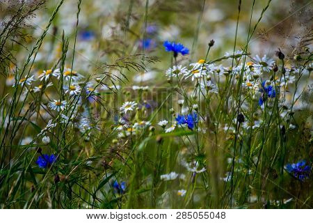 Daisy And Cornflowers Field. Beautiful Blooming Daisies And Cornflowers In Green Grass. Meadow With