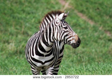 Zebra Looking