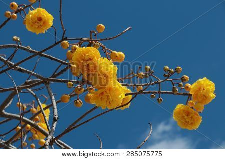 Yellow Double Flowers On The Branches Of The Ant Tree Tabebuia Aurea Against The Blue Sky. Beautiful
