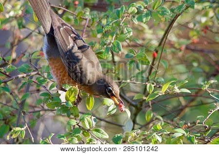 American Robin Picks Berries From Garden Shrub In Late Fall, Vancouver Island, British Columbia