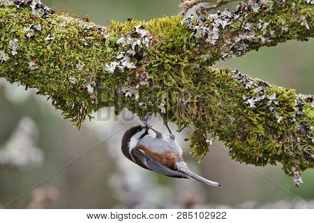 Chestnut-backed Chickadee Hangs From The Moss On The Underside Of An Oak Tree Branch As It Searches