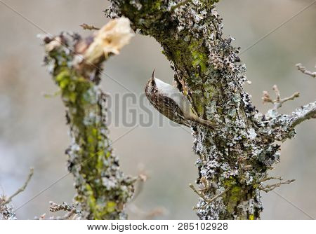 Brown Creeper Climbs Up A Lichen Covered Garry Oak Branch In The Winter, Vancouver Island, British C