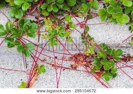 Red Vine Plant Creeping Over A Concrete Sidewalk In Summer