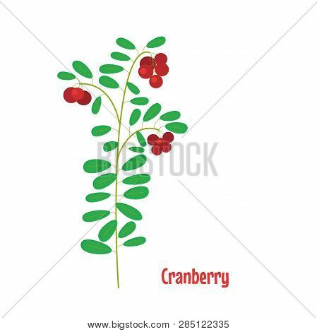 Cranberry. Isolated Wild Berries On White Background. Vector Illustration.