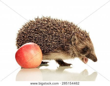 Beautiful Cute Little Hedgehog With An Open Mouth And An Apple Isolated On White Background