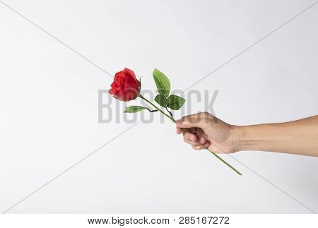Hand Holding Red Rose Flower On Gray Background For Valentines Day.