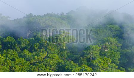 Misty Forest. Sunlight In Misty Green Pine Forest