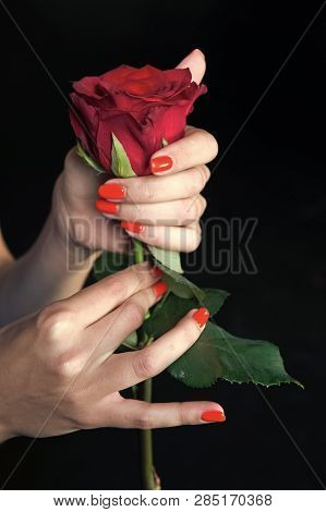 Paying Attention To Every Detail. Rose Red Flower In Female Hands With Bright Manicure. Hands With P