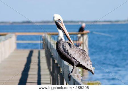 Watchful Pelican