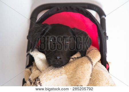 Labrador Puppy Sitting In A Baby Toy Stroller. Dog Labrador Retriever Puppy Wrapped In A Blanket Sit
