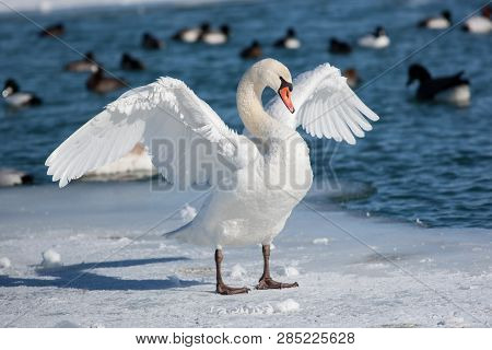 Winter Scenic Shore Bird Mute Swan Wings Spread