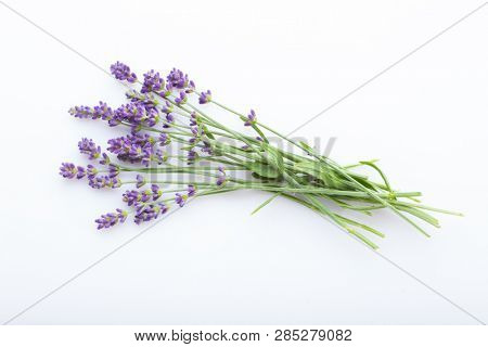 lavender on white background - flowers and plants