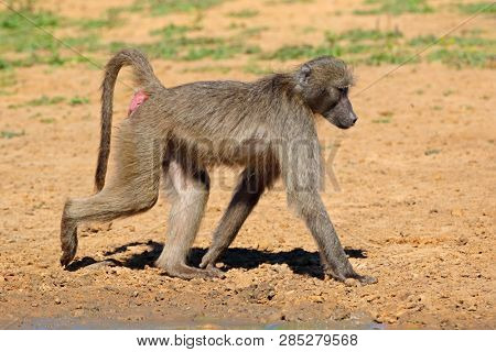 Chacma baboon (Papio ursinus) in natural habitat, Mkuze game reserve, South Africa