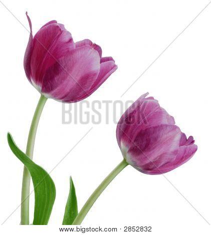 Pair Purple Tulips