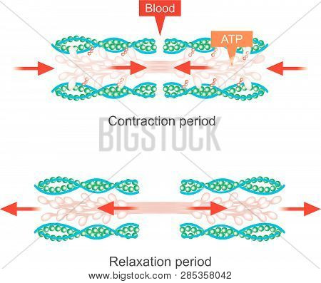 The Muscle Contraction As A Result Of Nerve Impulses Set Off A Biochemical Reaction That Causes Myos