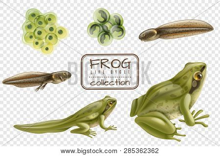 Frog Life Cycle Stages Realistic Set With Adult Animal Fertilized Eggs Tadpole Froglet Transparent B
