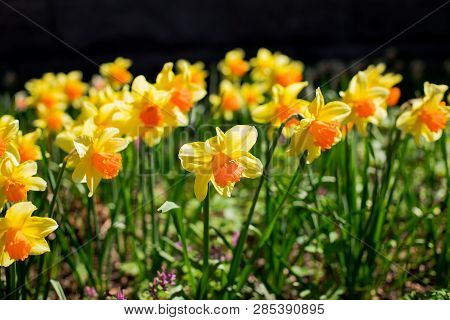 Yellow Fresh And White Spring Growing Blooming Daffodils Background.daffodil In Garden, Sunny Spring