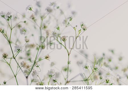 Branches Of Baby Breath Flowers On White Background