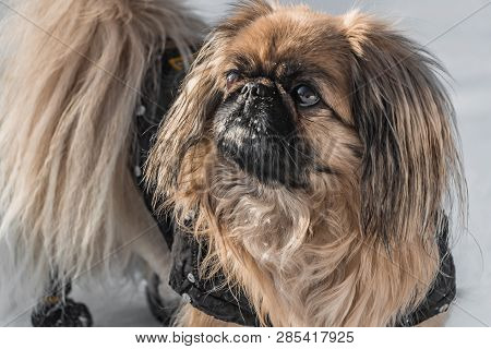 A beautiful little Pekingese dog in the black jumpsuit and with white snow on the snout is walking in a park in winter poster