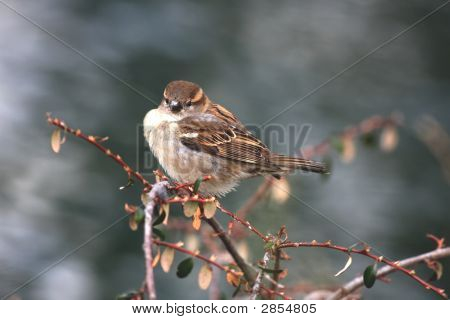 Close view of a sparrow sitting on a bush poster