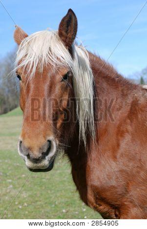 Field Horse
