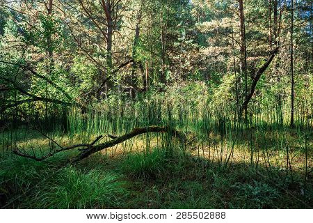 Dark Conifer Forest In Sunny Day. Dry Snag On Background Of High Firs And Pines. Coniferous Trees In